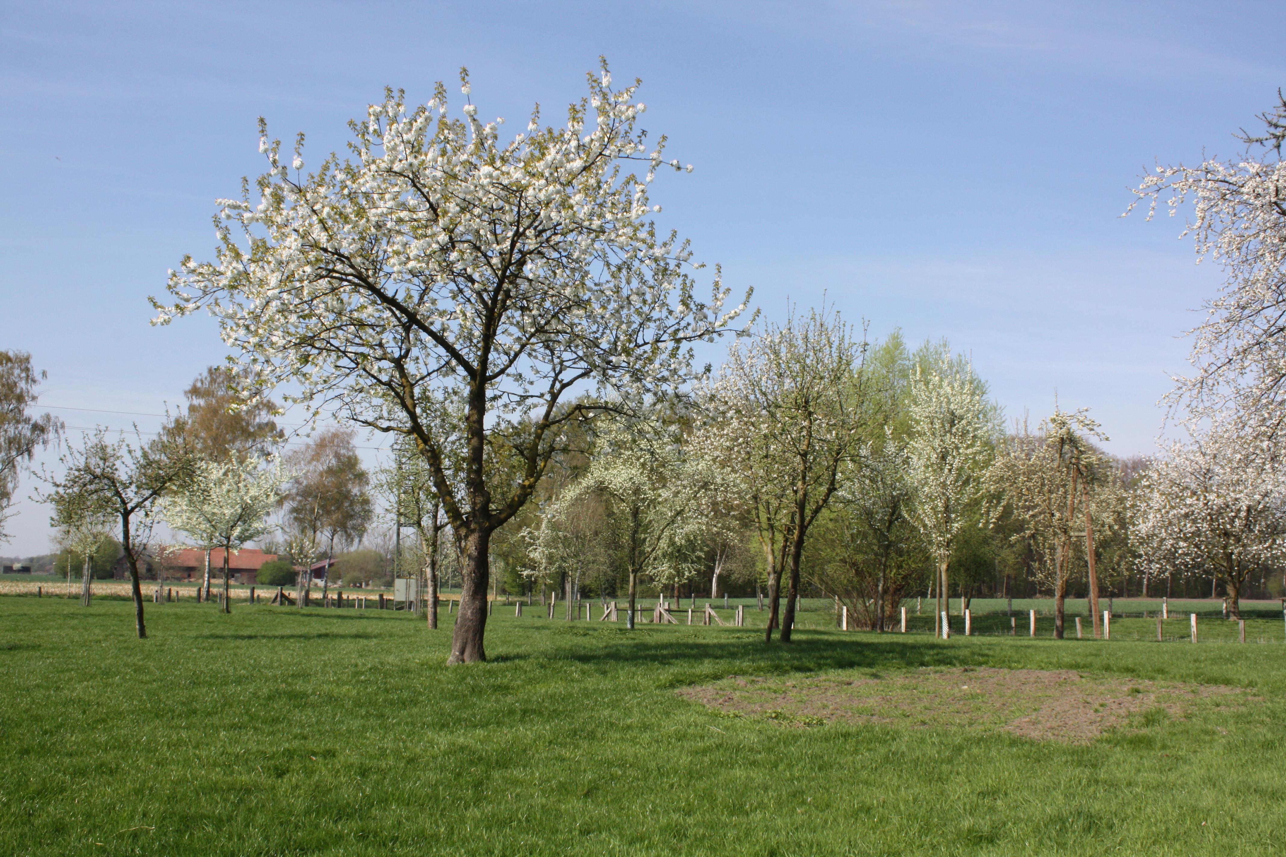 Streuobstwiese in Alverskirchen (Quelle: Kreis Warendorf)